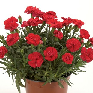 pot-carnation-colori-red-1-plant-9cm-pot